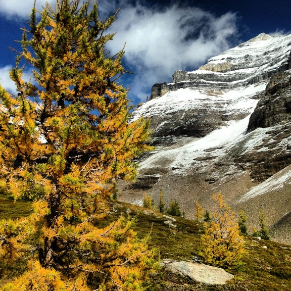 Larch Trees on the Mountain